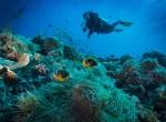 Clark's anemonefish and Diver - Palau
