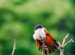 Burchels Coucal-8