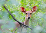Female Bushbuck 1